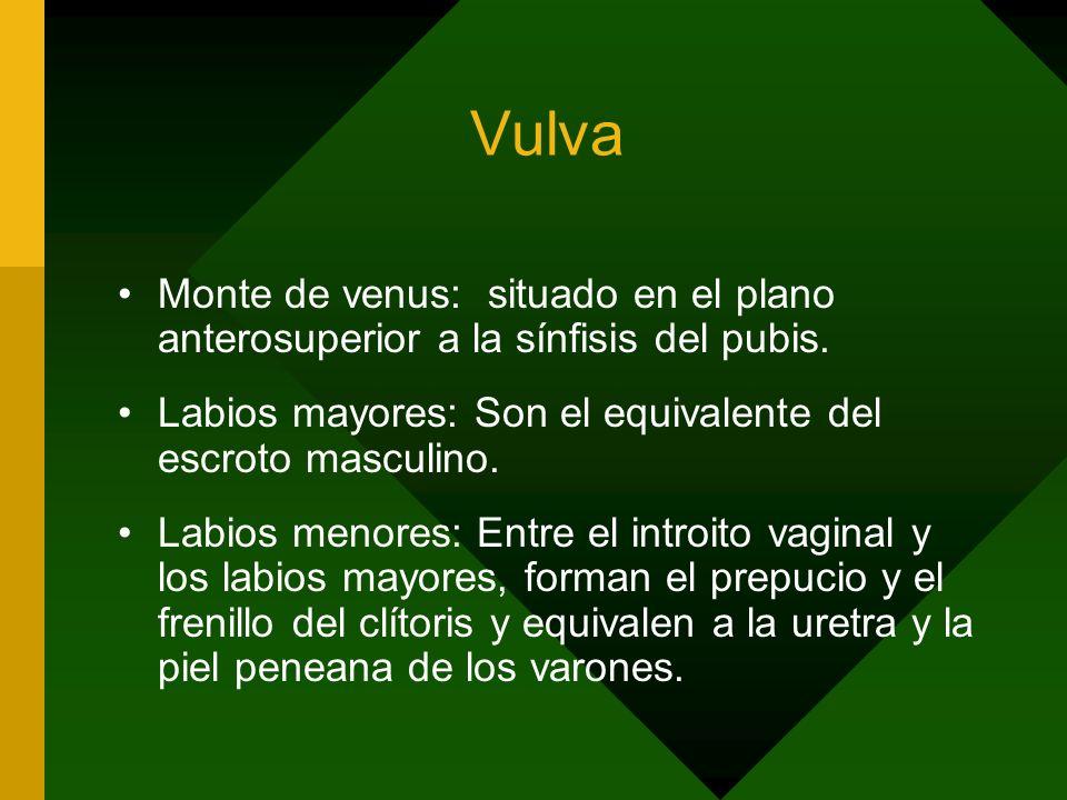 Vulva Monte de venus: situado en el plano anterosuperior a la sínfisis del pubis. Labios mayores: Son el equivalente del escroto masculino. Labios men