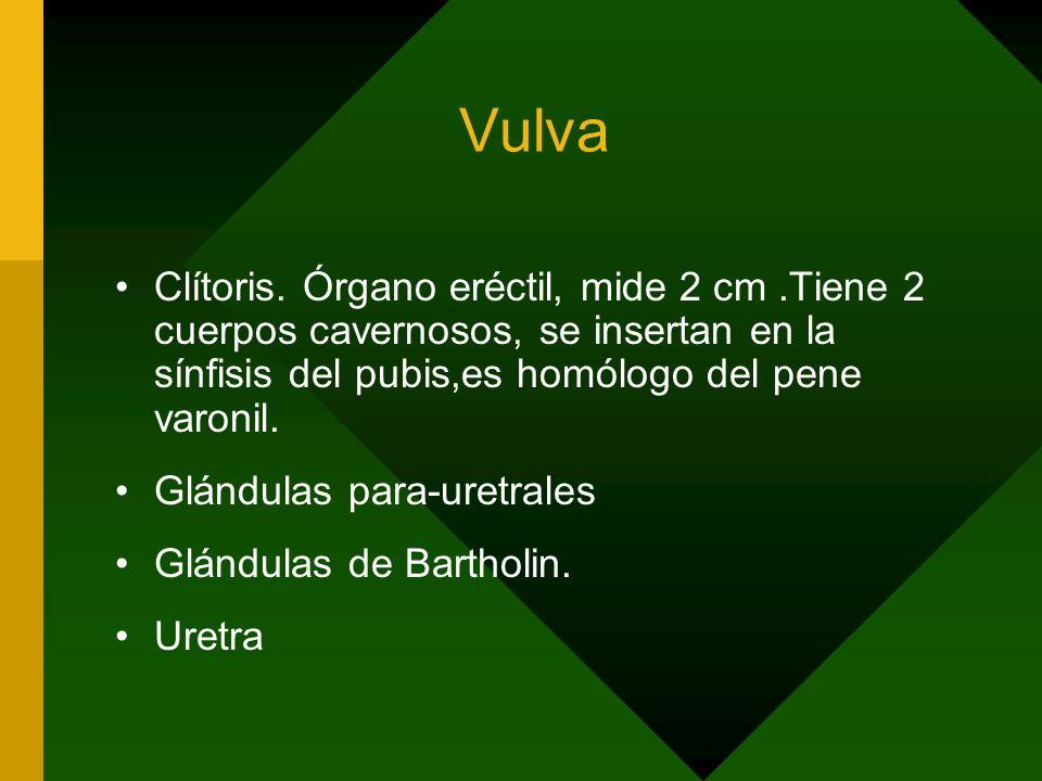 Vulva Clítoris. Órgano eréctil, mide 2 cm.Tiene 2 cuerpos cavernosos, se insertan en la sínfisis del pubis,es homólogo del pene varonil. Glándulas par