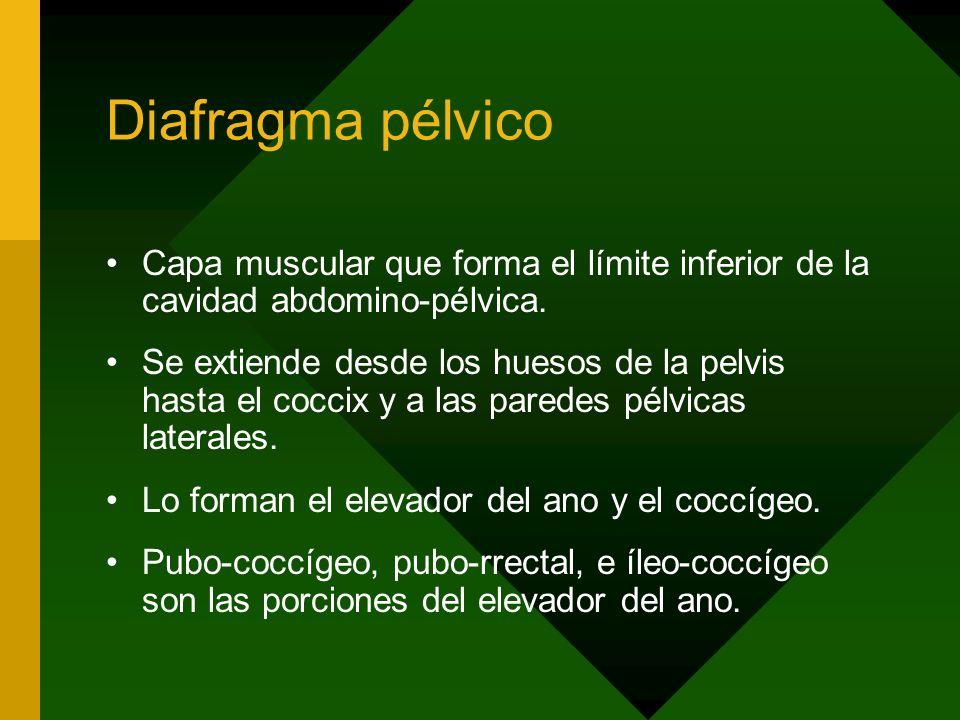 Diafragma pélvico Capa muscular que forma el límite inferior de la cavidad abdomino-pélvica. Se extiende desde los huesos de la pelvis hasta el coccix