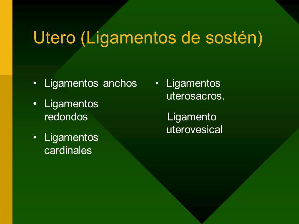 Utero (Ligamentos de sostén) Ligamentos anchos Ligamentos redondos Ligamentos cardinales Ligamentos uterosacros. Ligamento uterovesical