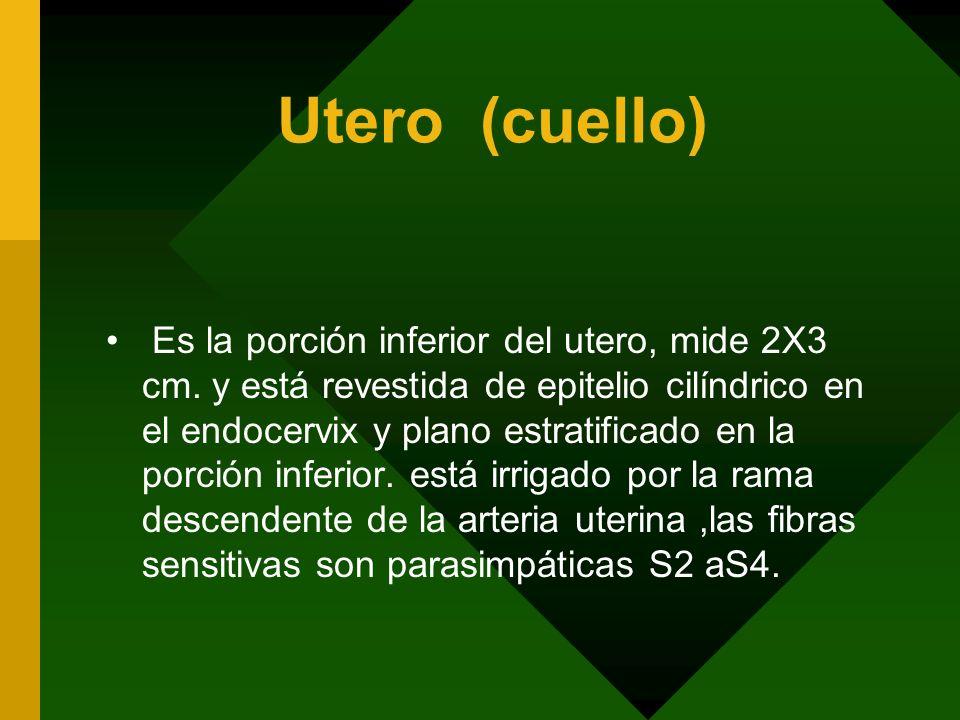 Utero (cuello) Es la porción inferior del utero, mide 2X3 cm. y está revestida de epitelio cilíndrico en el endocervix y plano estratificado en la por