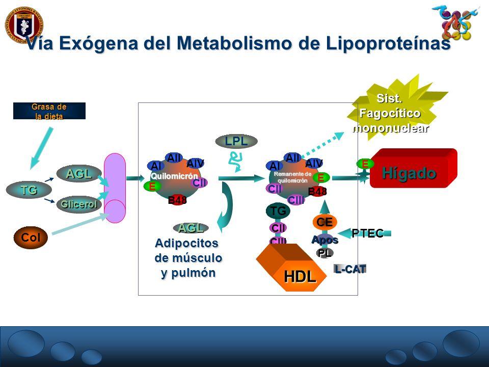 Vía Exógena del Metabolismo de Lipoproteínas AI E AIV AII B48 CII AI E AIV AII B48 CII Hígado CIII Adipocitos de músculo y pulmón LPL AGL AGL Col Gras