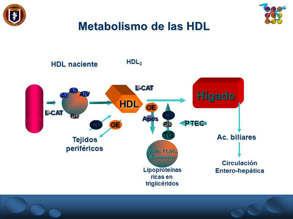 AI AIV AII Quilo, VLDL, Remanentes Hígado TG HDL L-CAT CE Apos PL PTEC HDL naciente HDL 2 PL L-CAT Tejidosperiféricos CECL Lipoproteínas ricas en trig