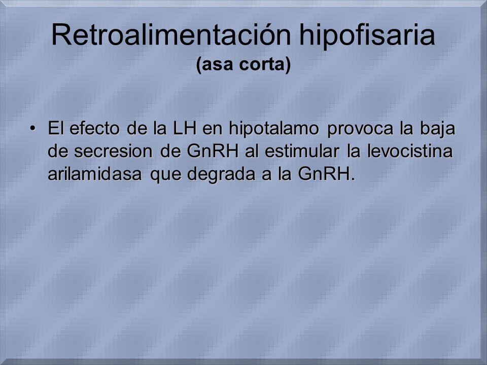 Retroalimentación hipofisaria (asa corta) El efecto de la LH en hipotalamo provoca la baja de secresion de GnRH al estimular la levocistina arilamidas