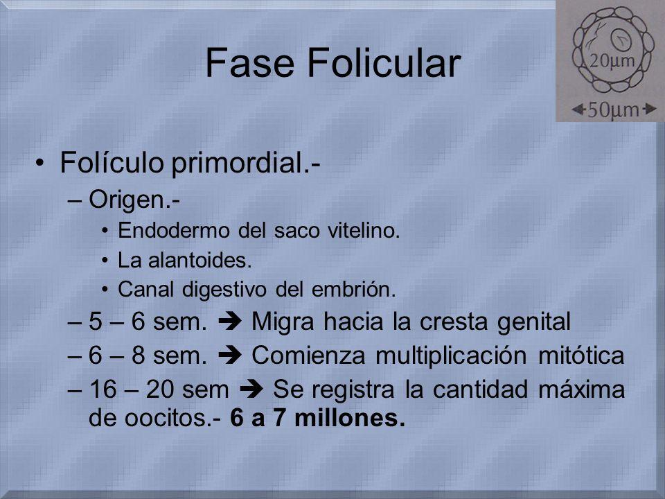 Fase Folicular Folículo primordial.- –Origen.- Endodermo del saco vitelino. La alantoides. Canal digestivo del embrión. –5 – 6 sem. Migra hacia la cre