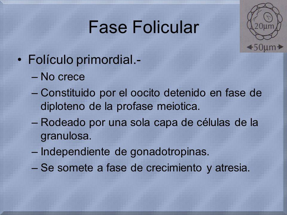 Fase Folicular Folículo primordial.- –No crece –Constituido por el oocito detenido en fase de diploteno de la profase meiotica. –Rodeado por una sola