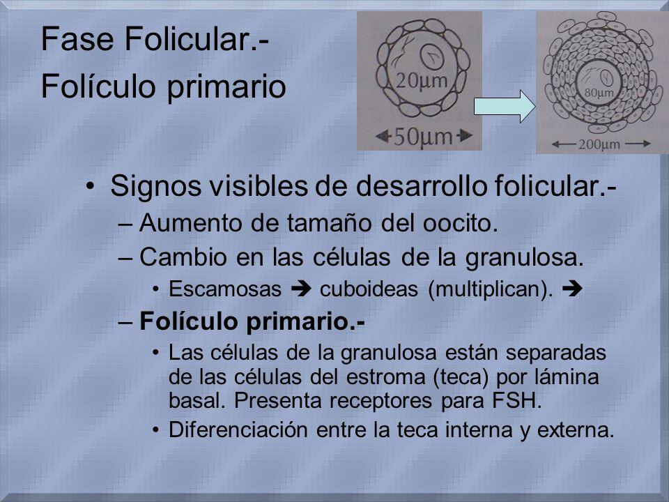 Fase Folicular.- Folículo primario Signos visibles de desarrollo folicular.- –Aumento de tamaño del oocito. –Cambio en las células de la granulosa. Es