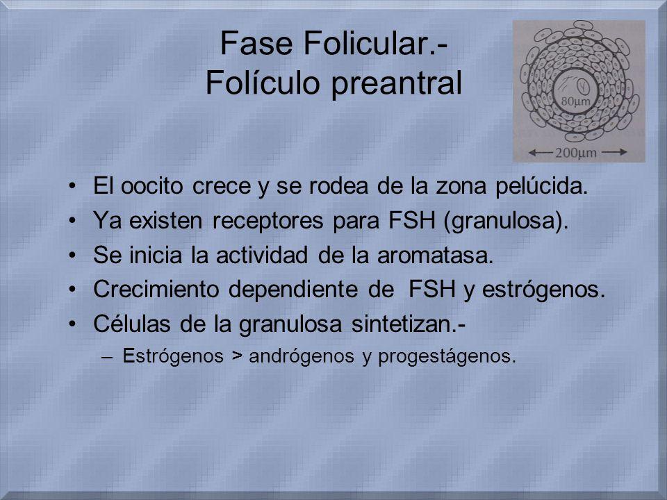Fase Folicular.- Folículo preantral El oocito crece y se rodea de la zona pelúcida. Ya existen receptores para FSH (granulosa). Se inicia la actividad