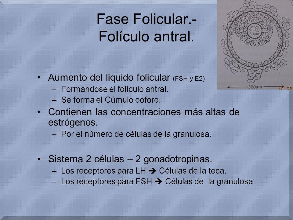 Fase Folicular.- Folículo antral. Aumento del liquido folicular (FSH y E2) –Formandose el folículo antral. –Se forma el Cúmulo ooforo. Contienen las c