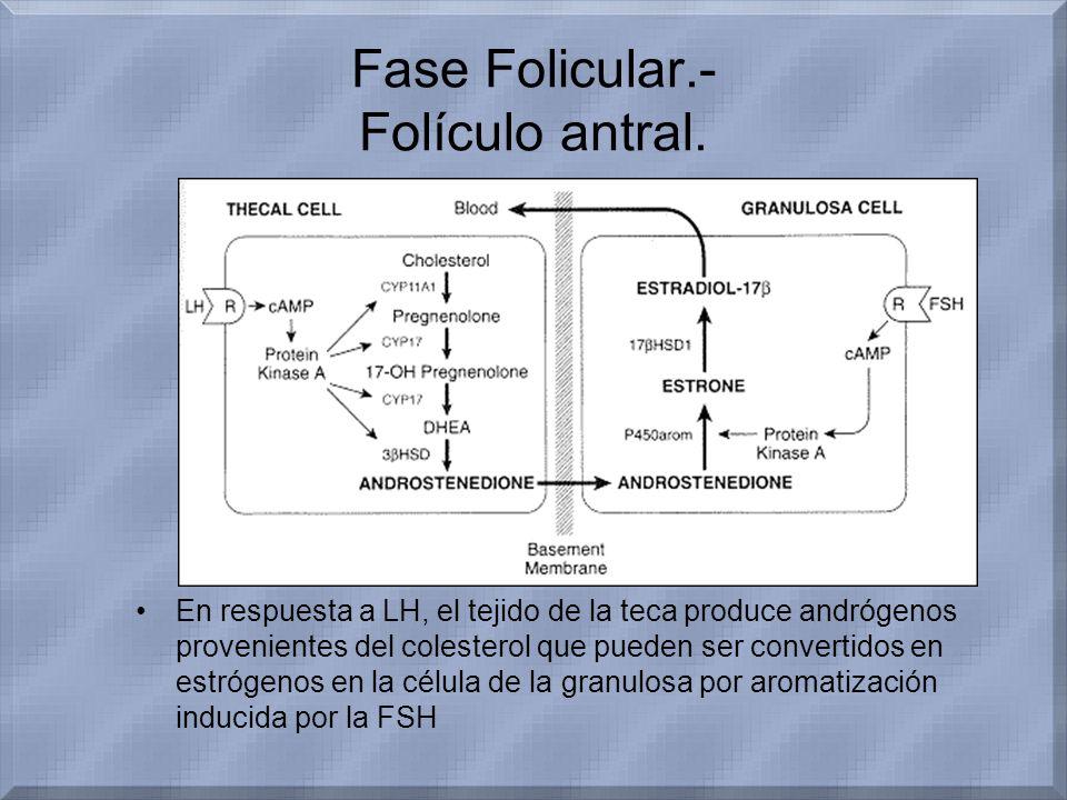 Fase Folicular.- Folículo antral. En respuesta a LH, el tejido de la teca produce andrógenos provenientes del colesterol que pueden ser convertidos en