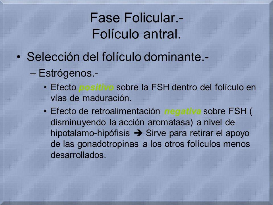 Fase Folicular.- Folículo antral. Selección del folículo dominante.- –Estrógenos.- Efecto positivo sobre la FSH dentro del folículo en vías de madurac
