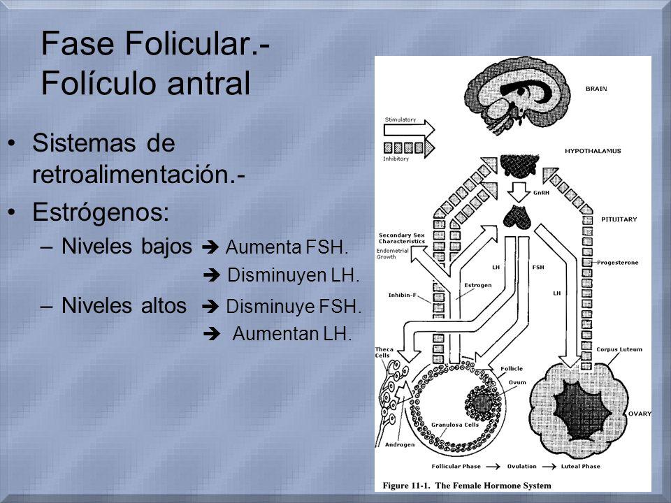 Fase Folicular.- Folículo antral Sistemas de retroalimentación.- Estrógenos: –Niveles bajos Aumenta FSH. Disminuyen LH. –Niveles altos Disminuye FSH.