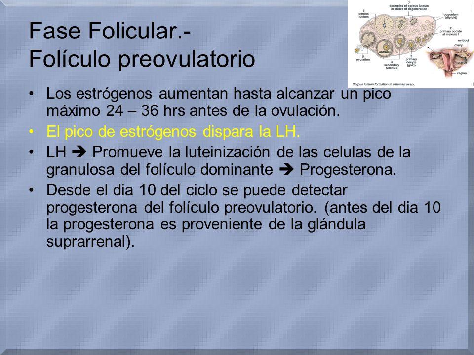 Fase Folicular.- Folículo preovulatorio Los estrógenos aumentan hasta alcanzar un pico máximo 24 – 36 hrs antes de la ovulación. El pico de estrógenos