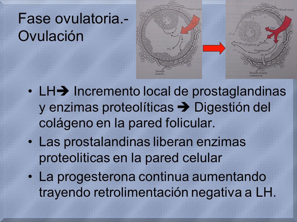 LH Incremento local de prostaglandinas y enzimas proteolíticas Digestión del colágeno en la pared folicular. Las prostalandinas liberan enzimas proteo