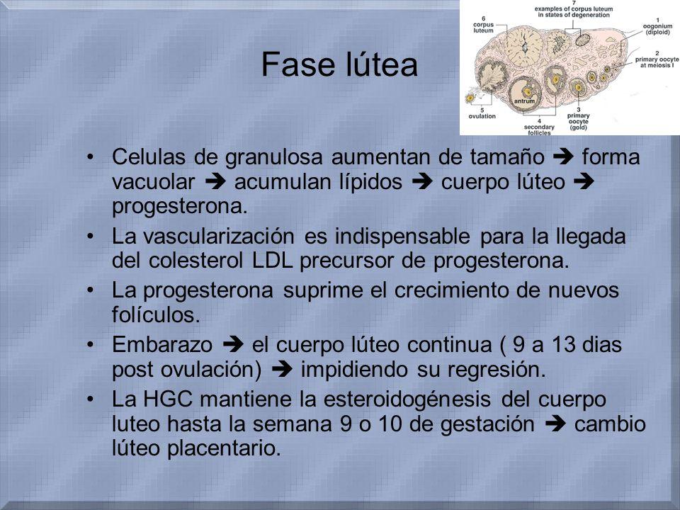 Fase lútea Celulas de granulosa aumentan de tamaño forma vacuolar acumulan lípidos cuerpo lúteo progesterona. La vascularización es indispensable para