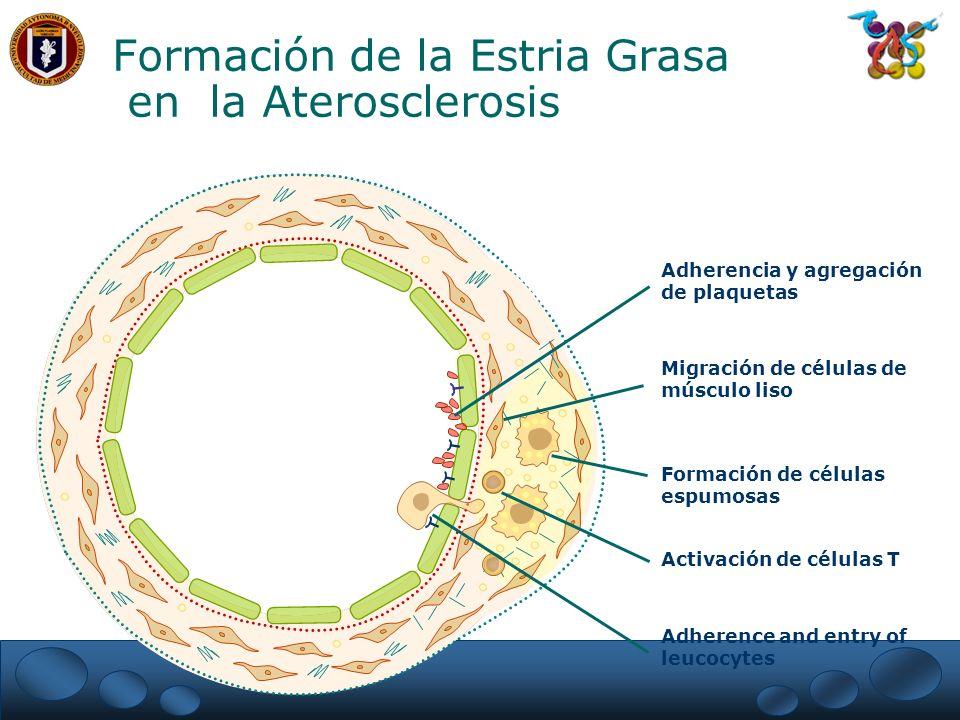 Formación de células espumosas Adherence and entry of leucocytes Activación de células T Migración de células de músculo liso Adherencia y agregación
