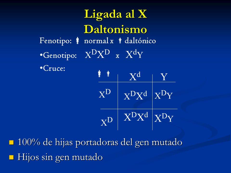 Ligada al X Daltonismo XDYXDY XdXd Y XDXD XDXD XDYXDY XDXdXDXd XDXdXDXd Fenotipo: normal x daltónico Genotipo: X D X D x X d Y Cruce: 100% de hijas po
