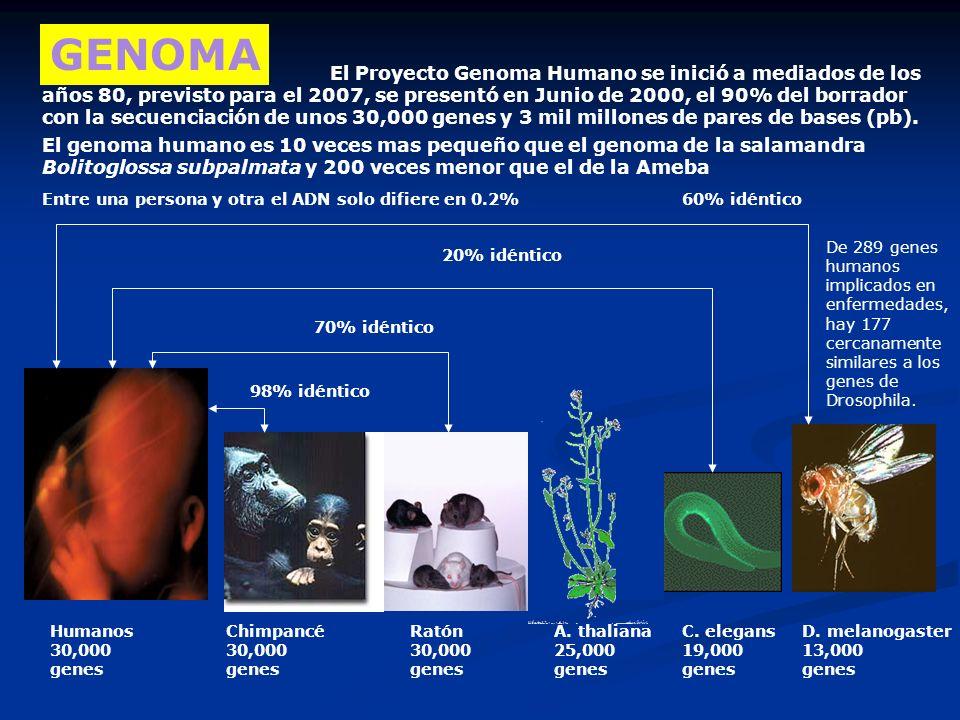 Autosómica dominante Neurofibromatosis: P: Nn x nn nn Nn n n Nn 50 % Nn, 50% nn