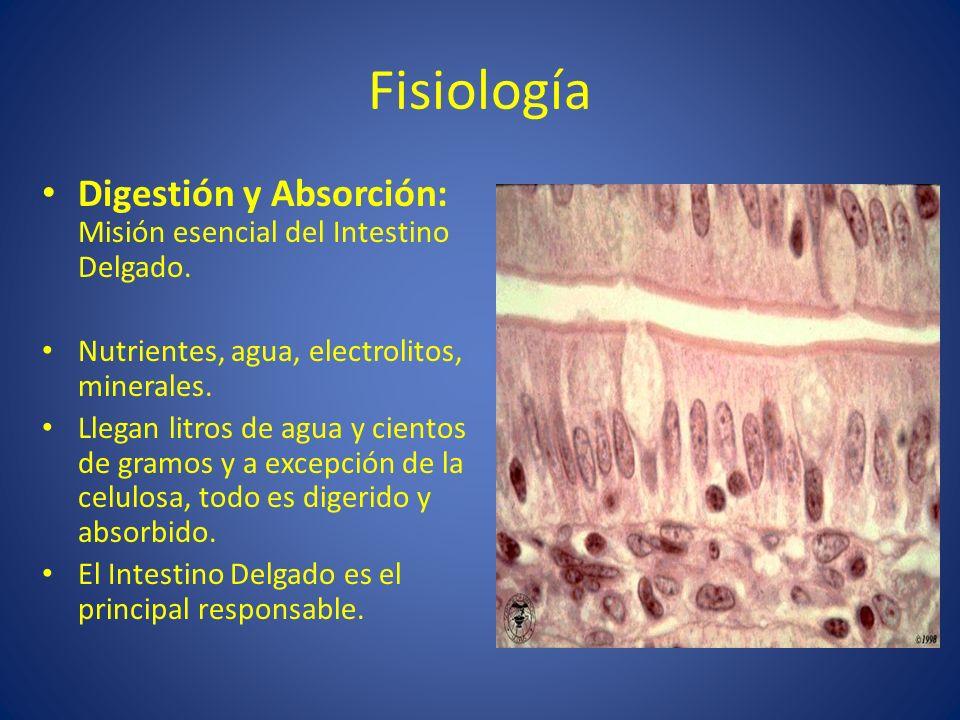 Fisiología Digestión y Absorción: Misión esencial del Intestino Delgado. Nutrientes, agua, electrolitos, minerales. Llegan litros de agua y cientos de