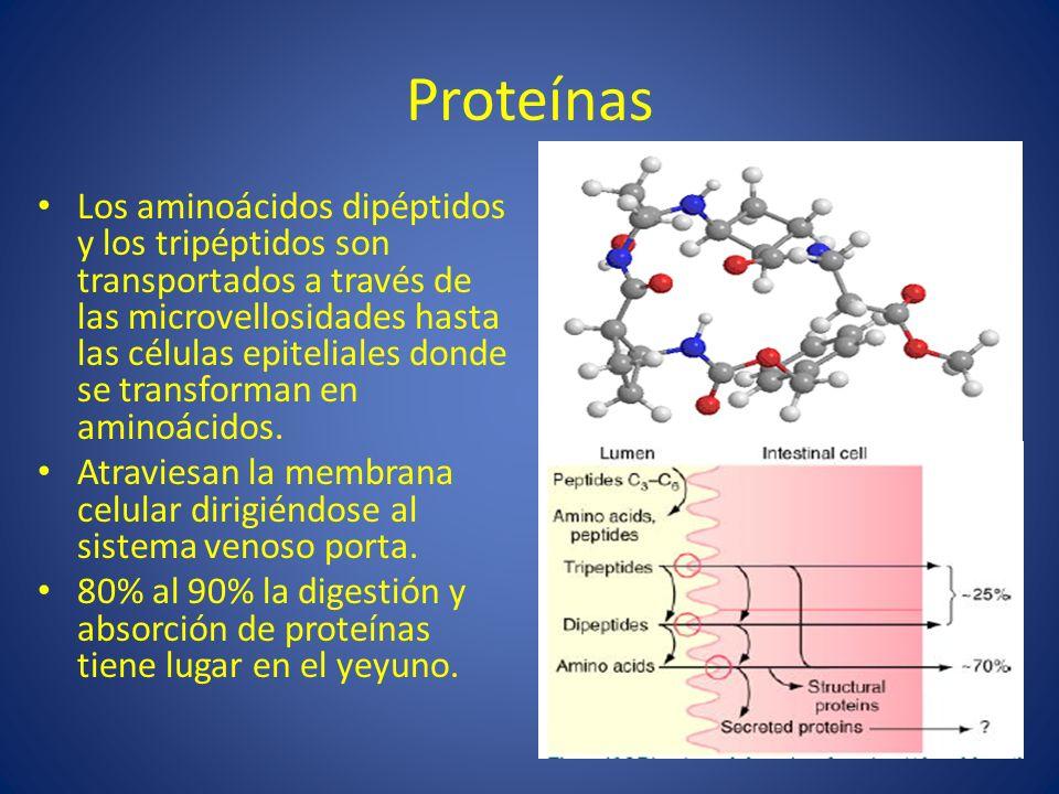 Proteínas Los aminoácidos dipéptidos y los tripéptidos son transportados a través de las microvellosidades hasta las células epiteliales donde se tran