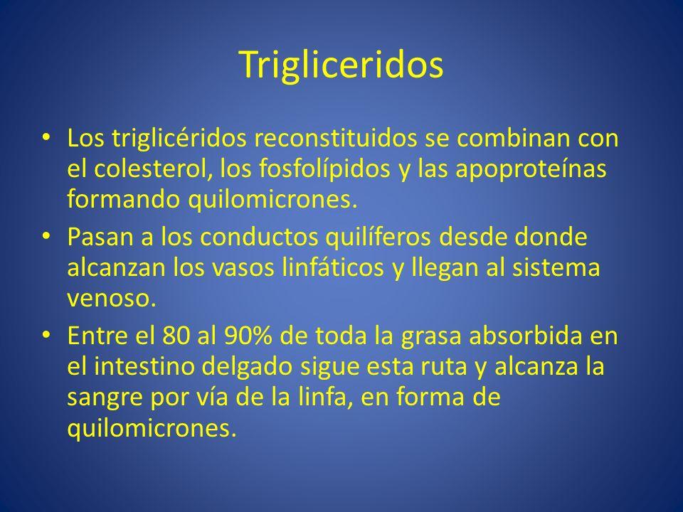 Trigliceridos Los triglicéridos reconstituidos se combinan con el colesterol, los fosfolípidos y las apoproteínas formando quilomicrones. Pasan a los