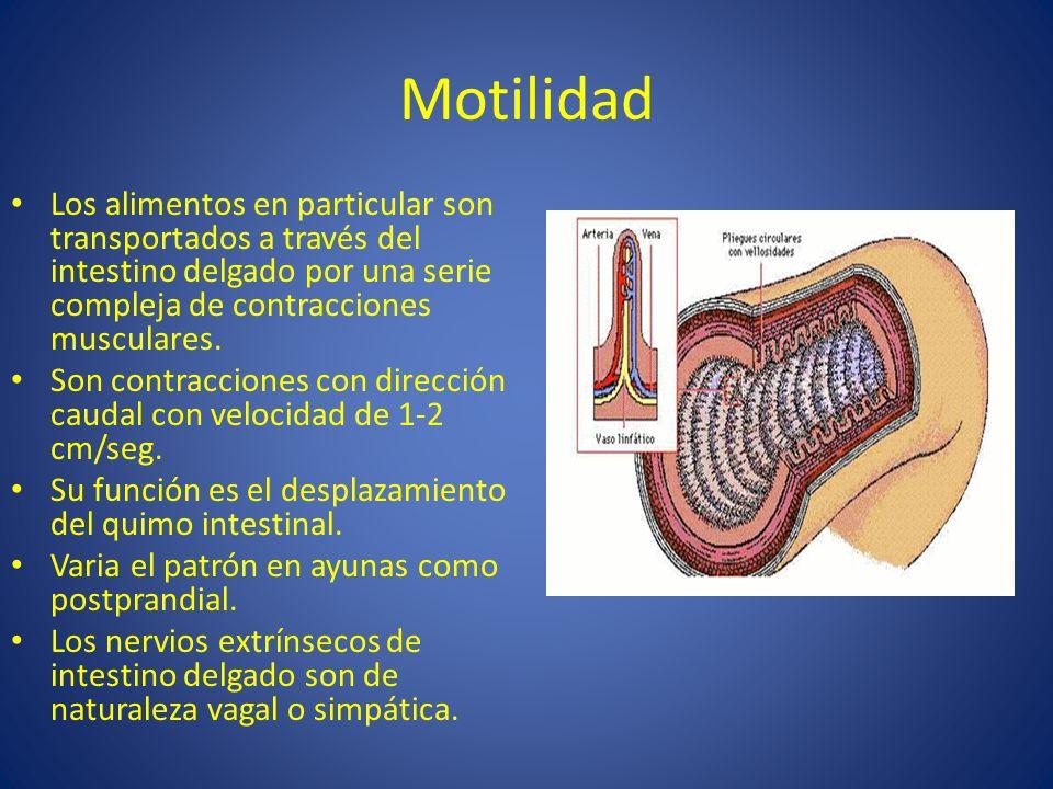 Motilidad Los alimentos en particular son transportados a través del intestino delgado por una serie compleja de contracciones musculares. Son contrac