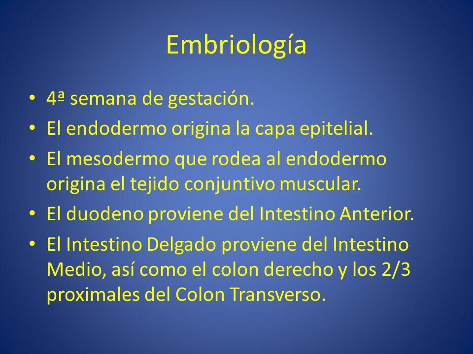 Embriología 4ª semana de gestación. El endodermo origina la capa epitelial. El mesodermo que rodea al endodermo origina el tejido conjuntivo muscular.