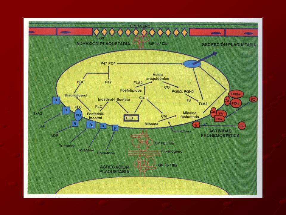 Agonistas plaquetarios: - Estimulan unión interplaquetaria - Reclutamiento de más plaquetas - Crecimiento del coágulo Todos terminan en una vía agonista común que Ca+ intracitoplásmatico Colágeno, epinefrina activan fosfolipasas COX TxA2 AGREGACION: Fibrinógeno y GPIIb/IIIa