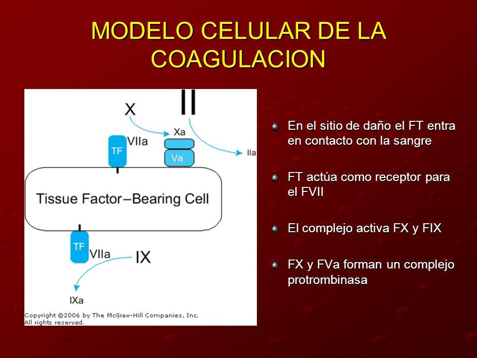 MODELO CELULAR DE LA COAGULACION En el sitio de daño el FT entra en contacto con la sangre FT actúa como receptor para el FVII El complejo activa FX y