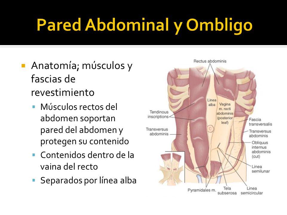 Anatomía; músculos y fascias de revestimiento Músculos rectos del abdomen soportan pared del abdomen y protegen su contenido Contenidos dentro de la v