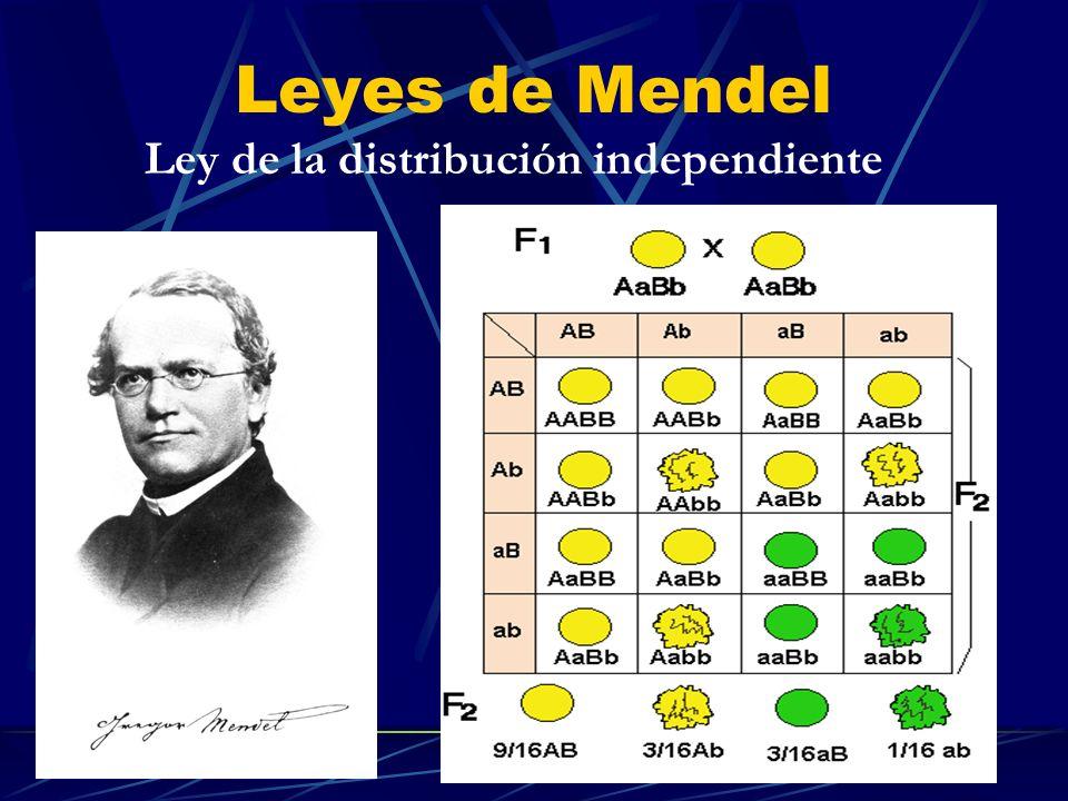 Leyes de Mendel Ley de la distribución independiente