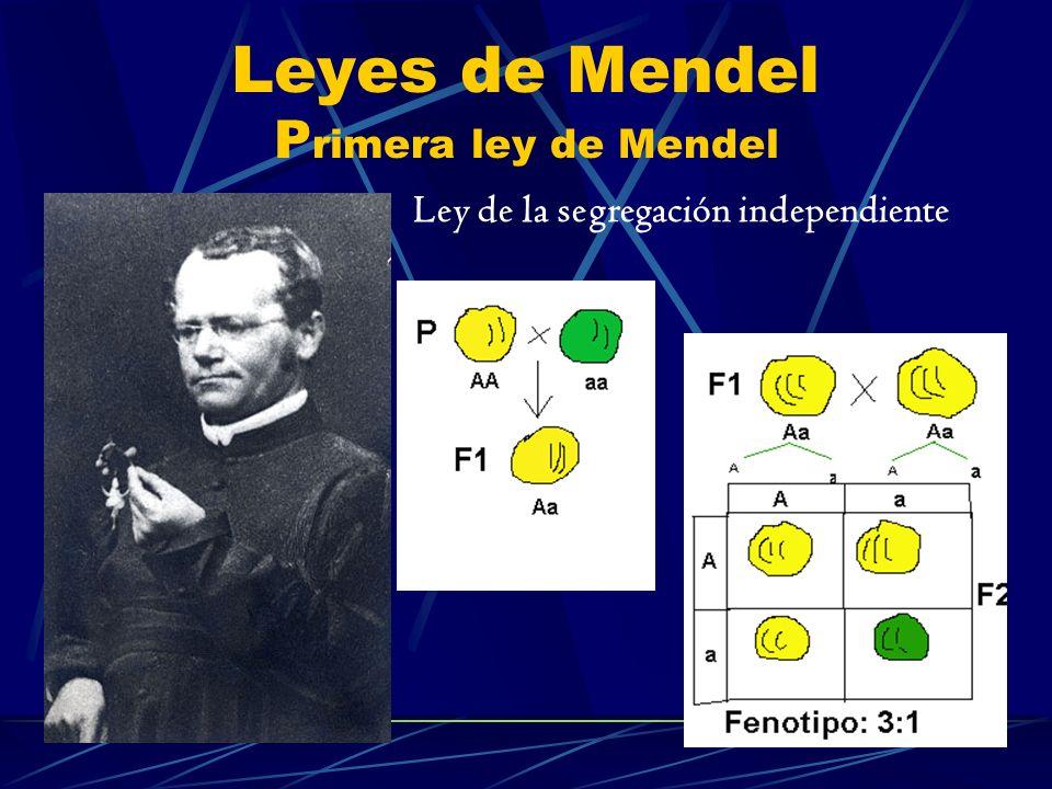 Leyes de Mendel Segunda ley de Mendel Ley de la distribución o surtido independiente