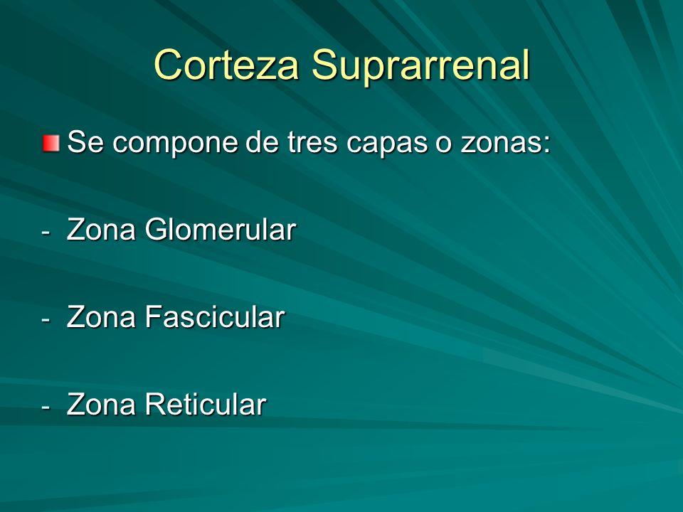 Corteza Suprarrenal Se compone de tres capas o zonas: - Zona Glomerular - Zona Fascicular - Zona Reticular