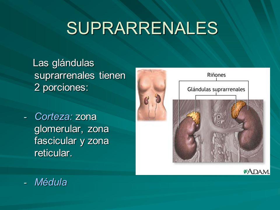 SUPRARRENALES Las glándulas suprarrenales tienen 2 porciones: Las glándulas suprarrenales tienen 2 porciones: - Corteza: zona glomerular, zona fascicu