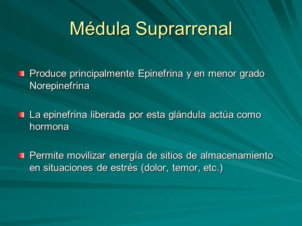 Médula Suprarrenal Produce principalmente Epinefrina y en menor grado Norepinefrina La epinefrina liberada por esta glándula actúa como hormona Permit
