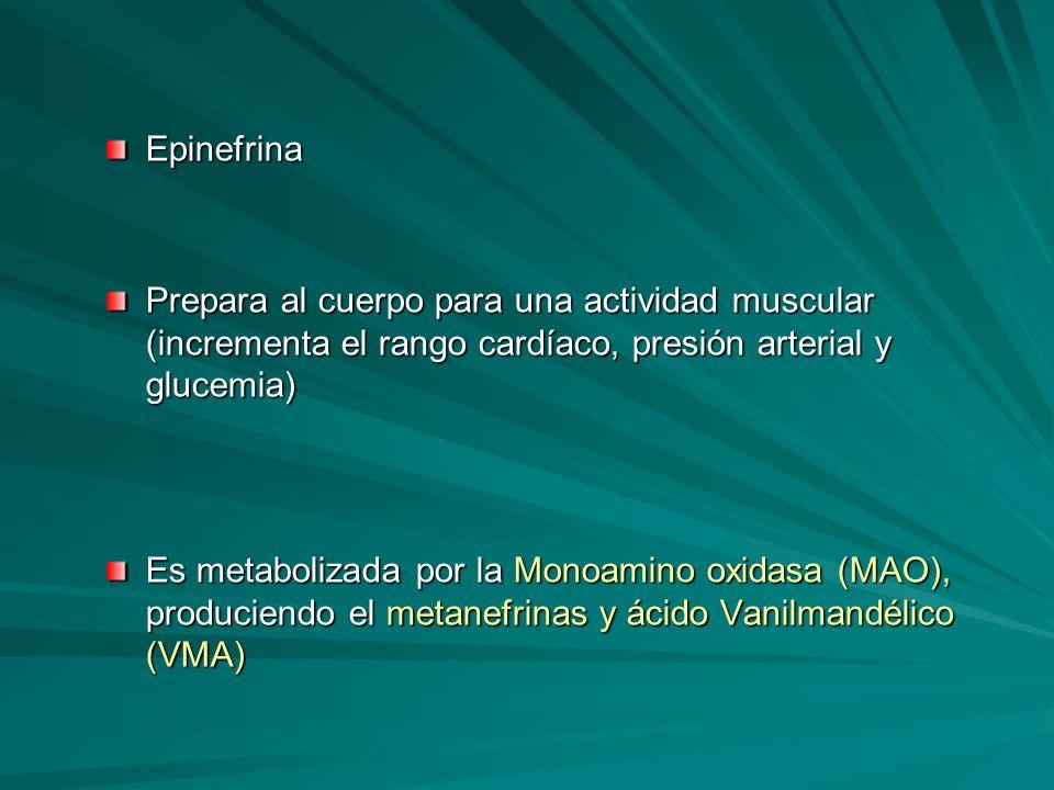 Epinefrina Prepara al cuerpo para una actividad muscular (incrementa el rango cardíaco, presión arterial y glucemia) Es metabolizada por la Monoamino