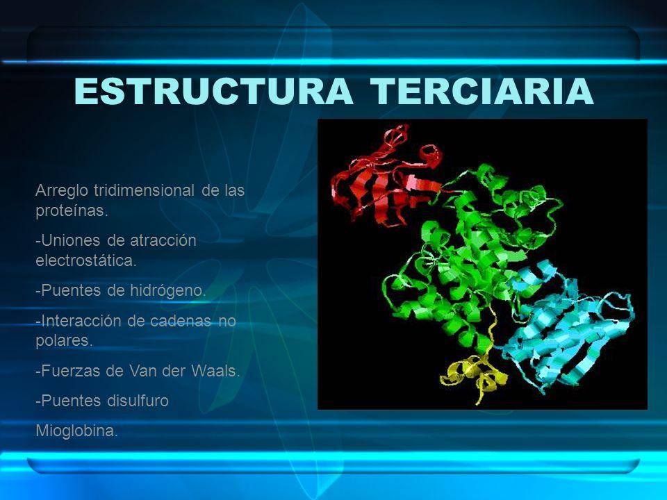 ESTRUCTURA TERCIARIA Arreglo tridimensional de las proteínas. -Uniones de atracción electrostática. -Puentes de hidrógeno. -Interacción de cadenas no