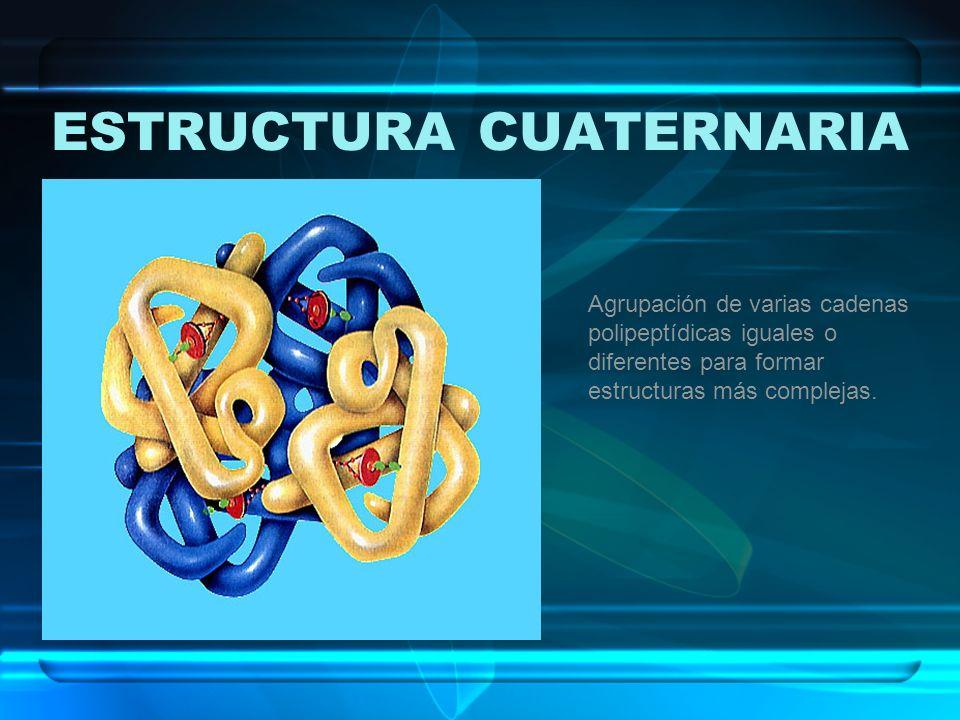 ESTRUCTURA CUATERNARIA Agrupación de varias cadenas polipeptídicas iguales o diferentes para formar estructuras más complejas.