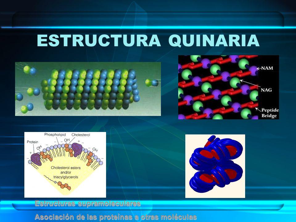 ESTRUCTURA QUINARIA Estructuras supramoleculares Asociación de las proteínas a otras moléculas