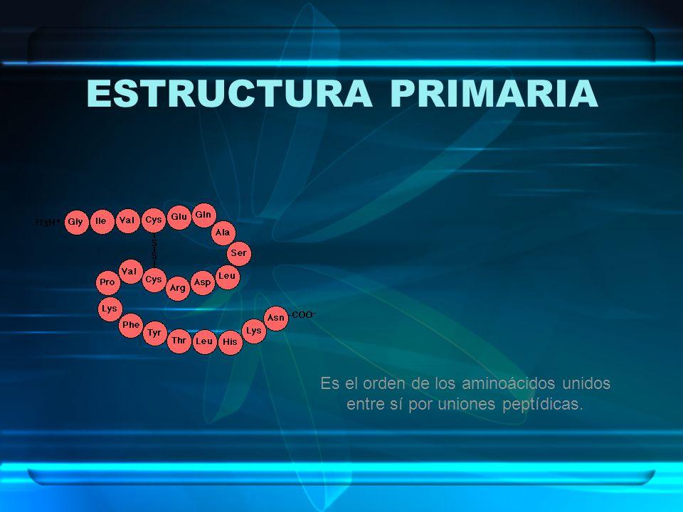 ESTRUCTURA PRIMARIA Es el orden de los aminoácidos unidos entre sí por uniones peptídicas.