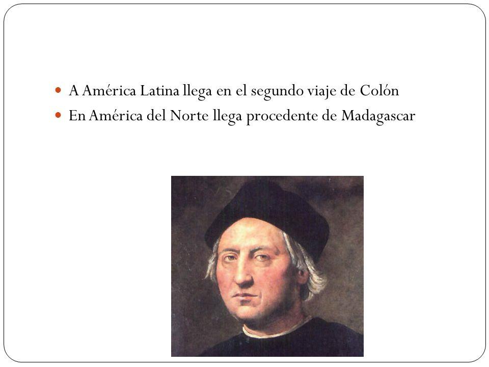 A América Latina llega en el segundo viaje de Colón En América del Norte llega procedente de Madagascar