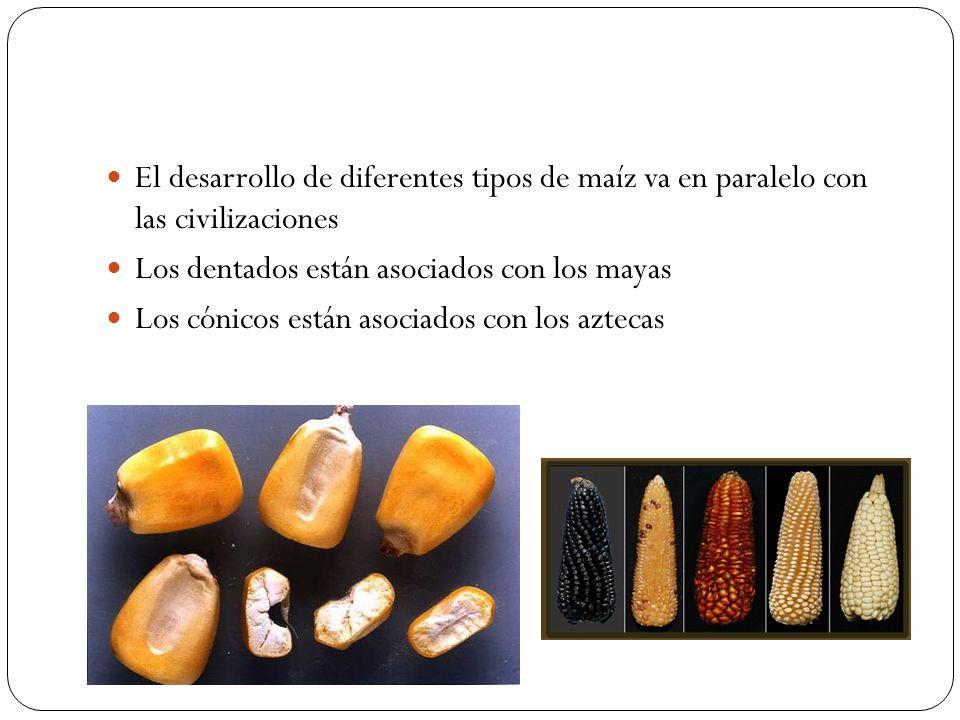El desarrollo de diferentes tipos de maíz va en paralelo con las civilizaciones Los dentados están asociados con los mayas Los cónicos están asociados
