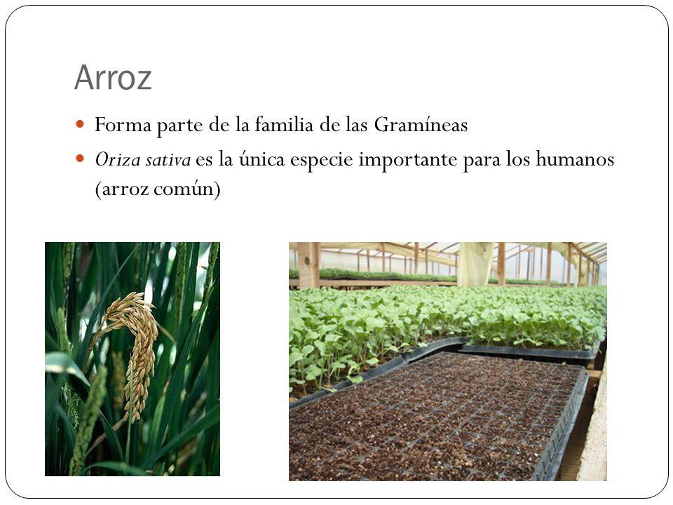 Arroz Forma parte de la familia de las Gramíneas Oriza sativa es la única especie importante para los humanos (arroz común)