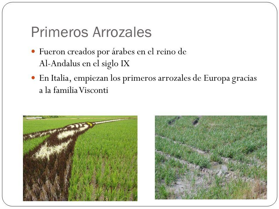 Primeros Arrozales Fueron creados por árabes en el reino de Al-Andalus en el siglo IX En Italia, empiezan los primeros arrozales de Europa gracias a l