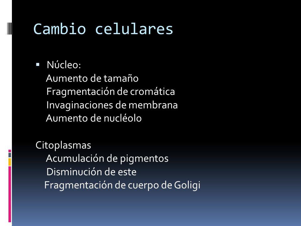Cambio celulares Núcleo: Aumento de tamaño Fragmentación de cromática Invaginaciones de membrana Aumento de nucléolo Citoplasmas Acumulación de pigmen