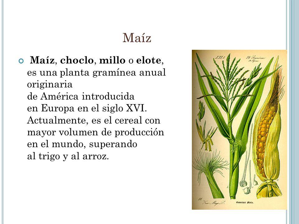 Maíz Maíz, choclo, millo o elote, es una planta gramínea anual originaria de América introducida en Europa en el siglo XVI. Actualmente, es el cereal