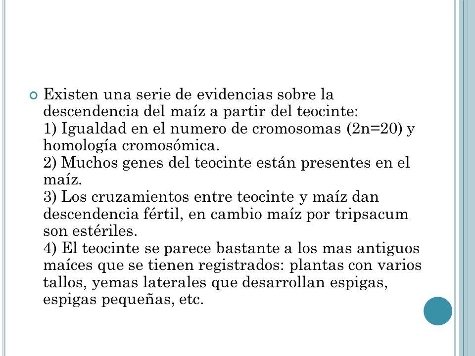 Existen una serie de evidencias sobre la descendencia del maíz a partir del teocinte: 1) Igualdad en el numero de cromosomas (2n=20) y homología cromo