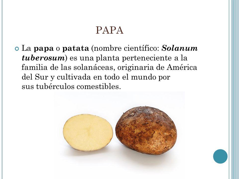 PAPA La papa o patata (nombre científico: Solanum tuberosum ) es una planta perteneciente a la familia de las solanáceas, originaria de América del Su