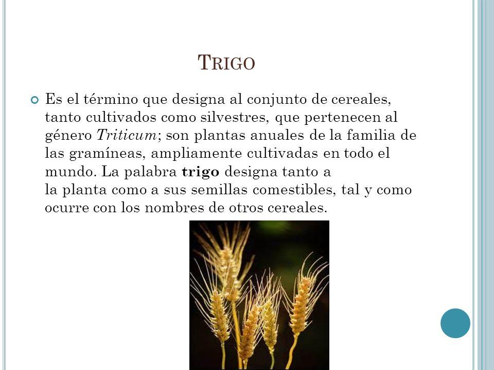 T RIGO Es el término que designa al conjunto de cereales, tanto cultivados como silvestres, que pertenecen al género Triticum ; son plantas anuales de