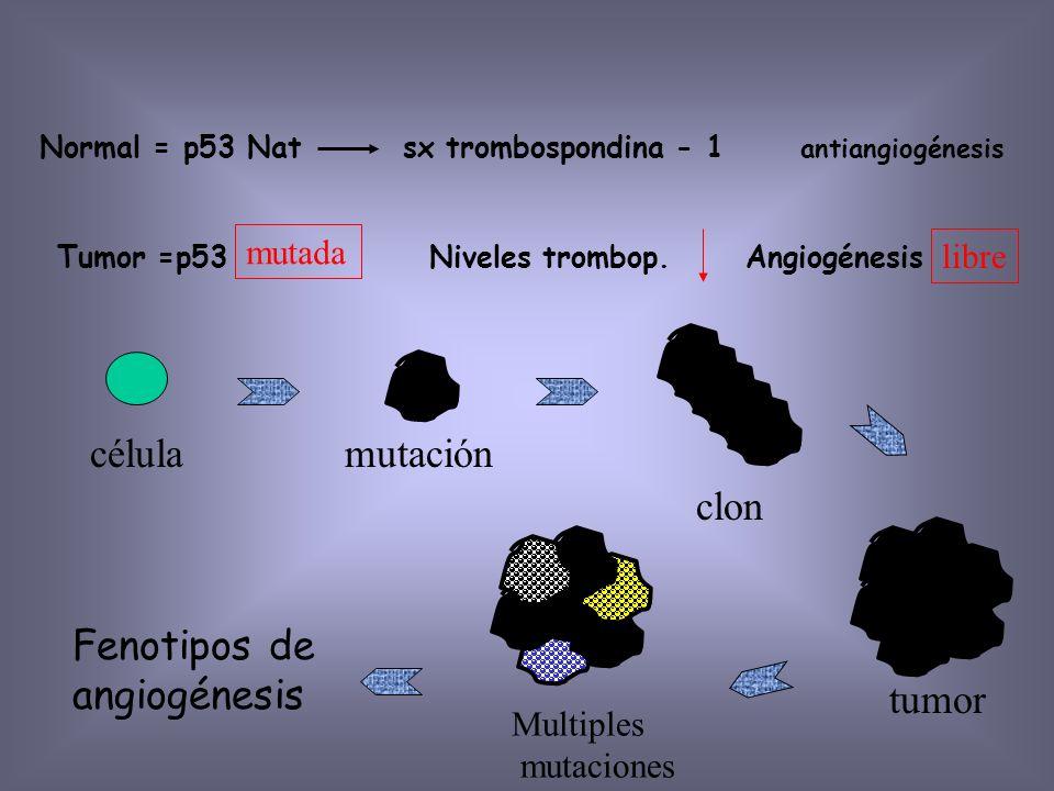 Angiogénesis Tumoral Elemento Nutritivos y O2 Factores de crecimiento (PDGF, GM-CSF, IL-1) Metástasis Distancia de máxima difusión de óxígeno (1-2mm)